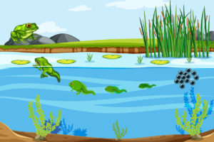 Illustration of the frog life cycle in a pond